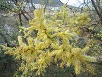 Image of Acacia rigidula