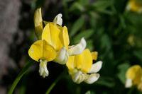 Image of Lotus oblongifolius