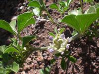 Image of Pediomelum aromaticum