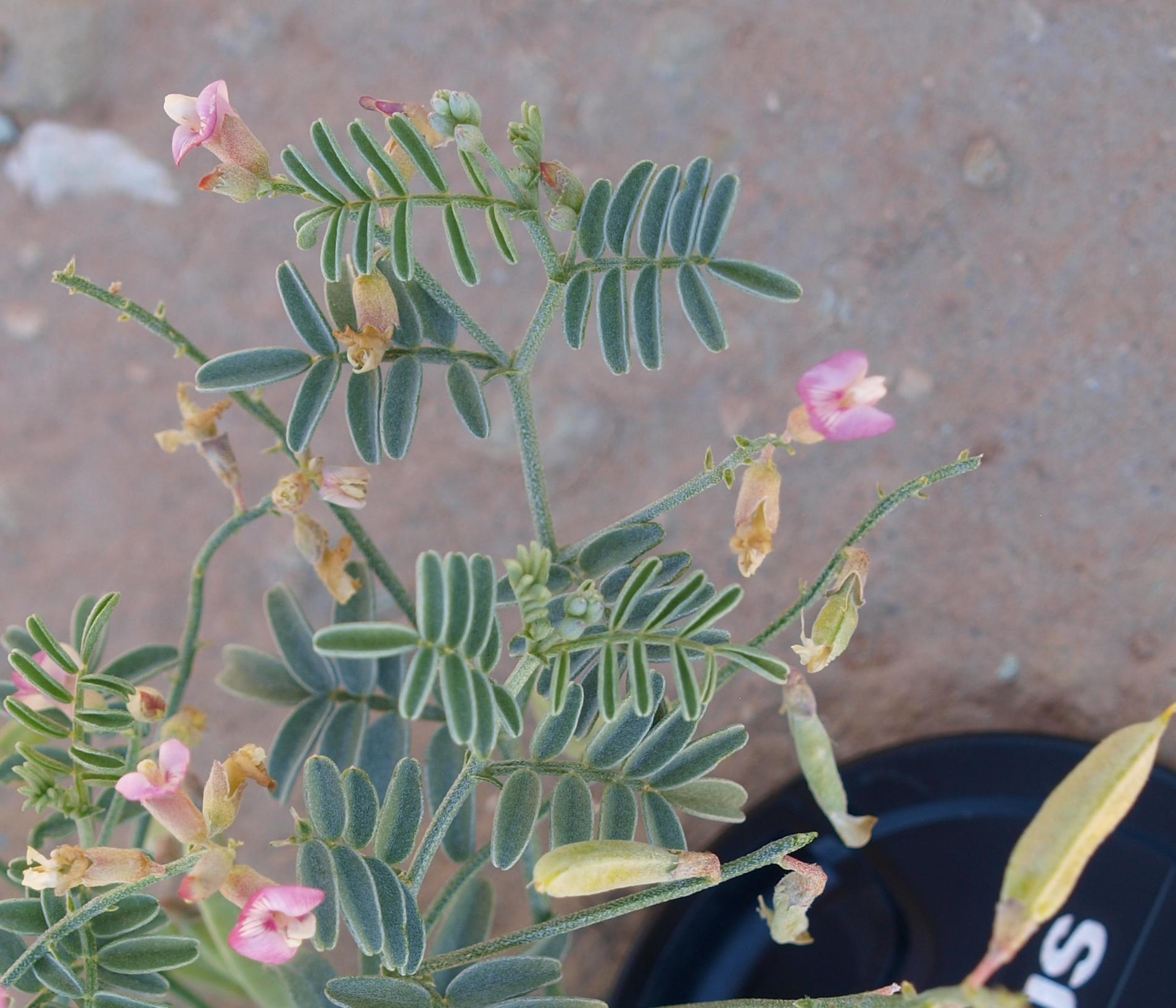 Astragalus cronquistii image