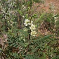 Image of Acacia angustissima