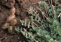 Image of Astragalus accumbens