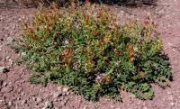 Astragalus ampullarius image
