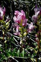 Image of Astragalus ampullarius