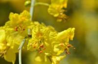 Cercidium floridum subsp. floridum image