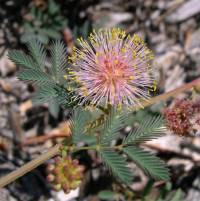 Image of Desmanthus cooleyi