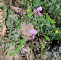 Image of Desmodium metcalfei