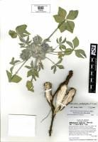 Pediomelum pentaphyllum image