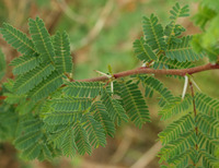 Image of Acacia farnesiana
