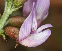 Image of Astragalus cobrensis