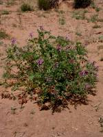 Astragalus beathii image