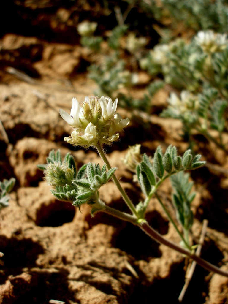Astragalus chuskanus image