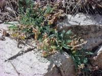 Astragalus cobrensis image