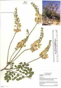 Image of Caesalpinia cacalaco