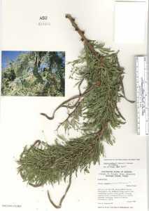 Image of Acacia schaffneri