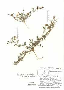 Image of Astragalus emoryanus