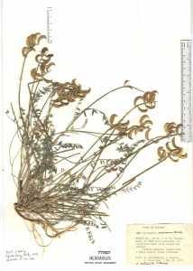 Extrait D Astragale Bio : Réductions - Plante - Bénéfices | Quels sont les effets secondaires ?