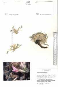 Image of Astragalus nutriosensis