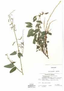 Desmodium batocaulon image
