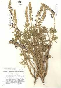 Image of Lupinus lemmonii