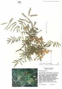 Mimosa grahamii var. grahamii image