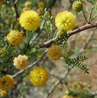 Image of Acacia constricta