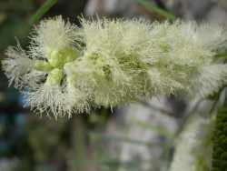 Image of Acacia millefolia