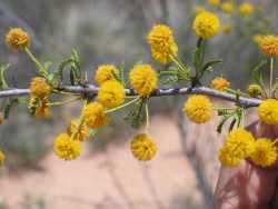 Image of Acacia neovernicosa