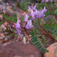Image of Astragalus lentiginosus