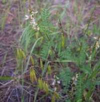 Astragalus rusbyi image