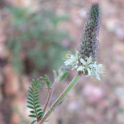 Image of Dalea albiflora