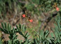 Indigofera sphaerocarpa image
