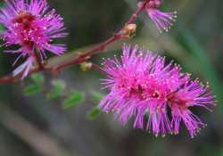 Image of Mimosa dysocarpa