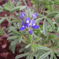 Image of Lupinus kingii