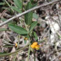 Image of Rhynchosia senna