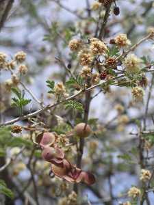 Image of Acacia occidentalis