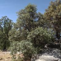 Image of Quercus hypoleucoides