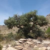 Image of Quercus oblongifolia