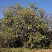 Image of Quercus palmeri