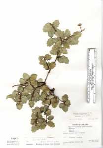 Image of Quercus ajoensis