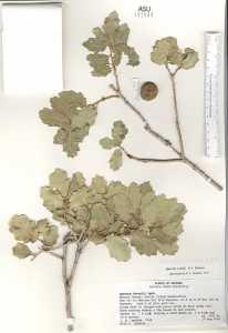 Image of Quercus havardii