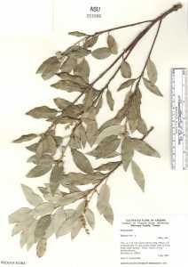 Image of Quercus ilex