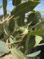Image of Quercus grisea