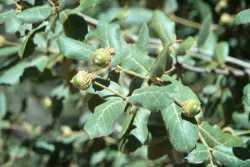 Image of Quercus rugosa