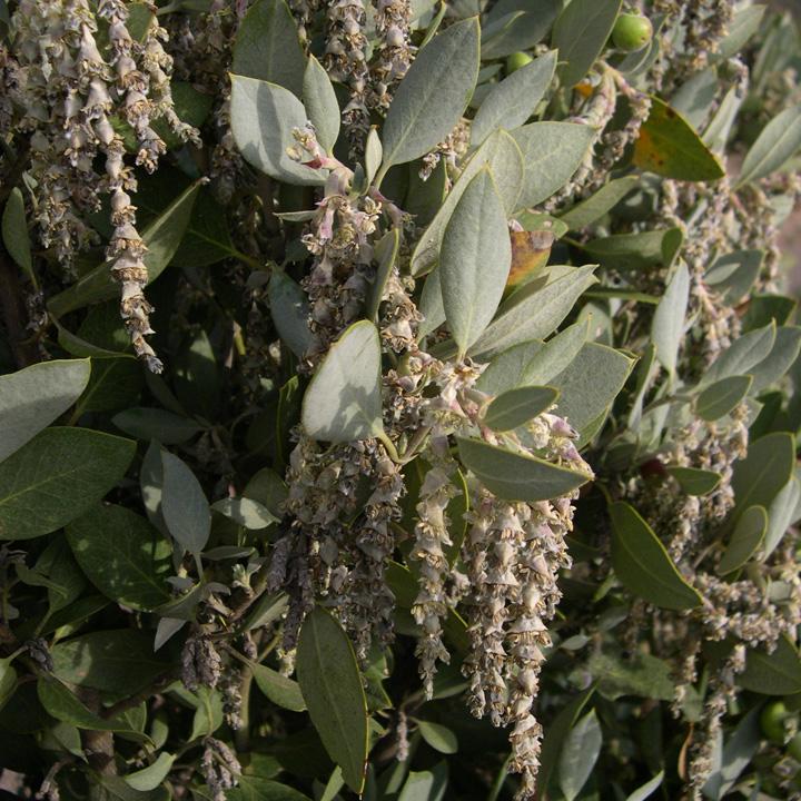 Garryaceae image