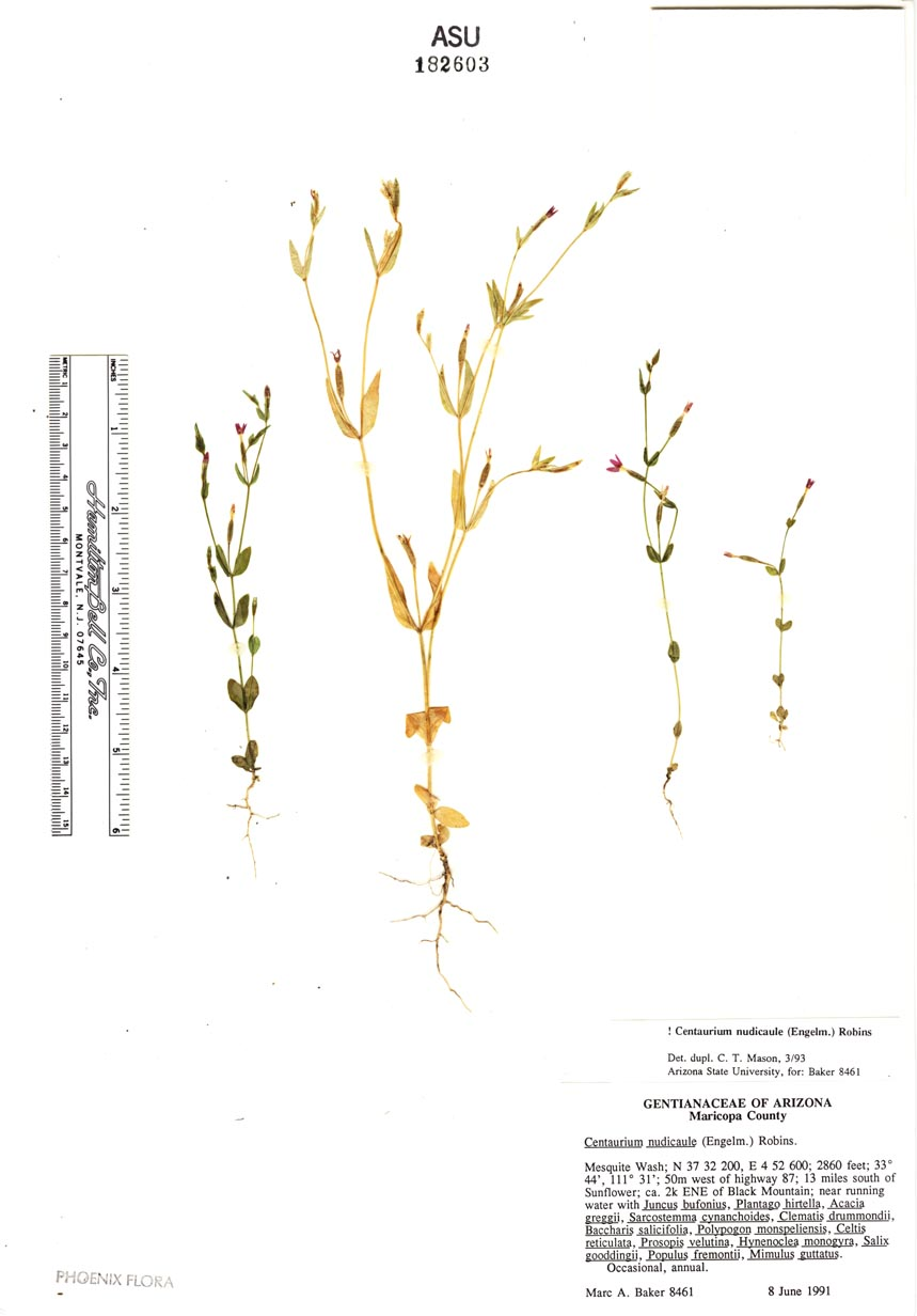 Zeltnera nudicaulis image