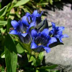 Image of Gentiana parryi