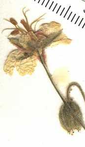Image of Geranium lentum