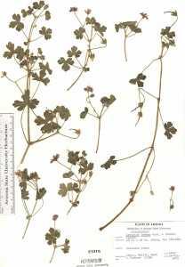 Geranium lentum image