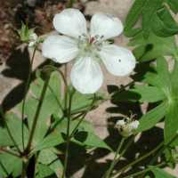 Image of Geranium richardsonii